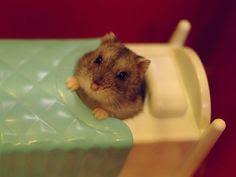 Hamster in bed